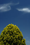 Tree and Sky. A tall Leyland Cypress tree (Cupressocyparis leylandii) against a blue sky with two wisps of cirrus cloud. Space for text in the sky Royalty Free Stock Images