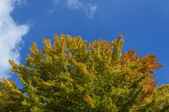 Top of autumn tree. Changing foliage on top of tree against blue skies Stock Photos