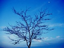 Tree, sky and moon. Picture of the tree in the evening with blue sky and moon Stock Image