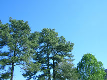 Tree skyline. Pine trees against blue sky stock photos
