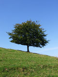 The tree on the slant. Tree on side of hill (Burrow Mump, Somerset, UK Royalty Free Stock Photography