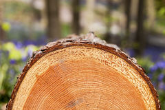 Tree slice Close-up in Tranendal Stock Images