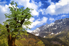 Tree in Slovenian alps Stock Photography