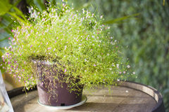 Tree with small flowers in pot for decoration Stock Image