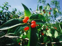 Tree with small red berries. Beautiful tree with small red berries on a clear summer day stock images
