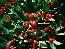 Tree with small red berries. Beautiful tree with small red berries on a clear summer day stock photography
