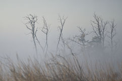 Tree Snags on a Foggy Silent Autumn Morning Stock Photography