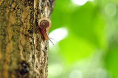 Tree snail Stock Image