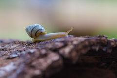 Tree snail on the trunk Stock Photography