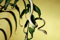 Tree snake in green jungle royalty free stock photo