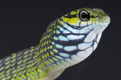 Tree snake / Rhamnophis aethiopissa Royalty Free Stock Images