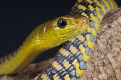 Tree snake / Thrasops jacksonii Royalty Free Stock Photography