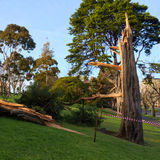 Tree snapped in half. By strong winds in melbourne Royalty Free Stock Images