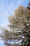 Tree with snow Stock Photography
