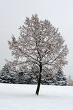 Tree and Snow Royalty Free Stock Photo