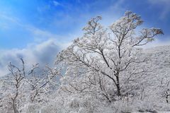Tree after snow. In beijing western hills with blue sky Stock Photos
