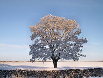 Tree with snow. Winter landscape. Tree with branches covered with snow on a snowy field behind a hedge Royalty Free Stock Photos