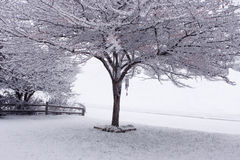 Tree and snow Royalty Free Stock Image
