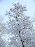 Tree with snow. Tree branches covered with snow Stock Photography