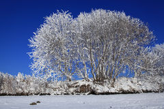 A tree in snow against the blue sky Stock Photos