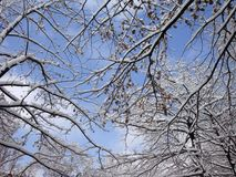 Tree in snow on blue sky background. Winter scene of blue sky with light white clouds and brunches in snow Royalty Free Stock Image