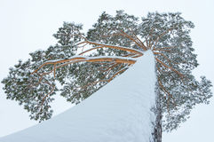 Tree in snow Royalty Free Stock Images