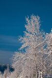 Tree snow covered in sweden. Trees snow coverd in winter in Vasterbotten, Sweden royalty free stock photos