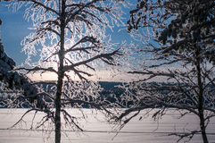 Tree snow covered in sweden. Trees snow coverd in winter in Vasterbotten, Sweden stock photos