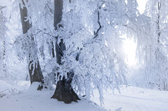 Tree with snow and frost in winter Royalty Free Stock Photography