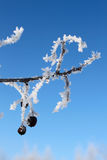 Tree with snow and fruit Royalty Free Stock Images