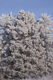 Tree in snow. Furry tree in the snow closeup Stock Photos