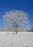 Tree in the Snow. A lone tree in a pasture after a new snowfall. Concept for peace, tranquality, and winter royalty free stock photo