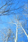 Tree with snow under blue sky Royalty Free Stock Photography
