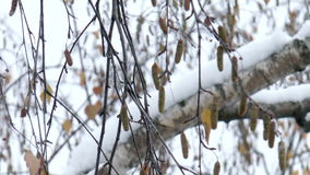 Tree in the snow. The video shows branch of a tree in the snow stock footage