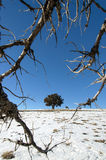 Tree on snowy field. A tree on a snowy field seen through the branches of an other tree in the winter Royalty Free Stock Images