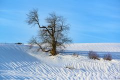 Gnarled old bare tree in snow-covered winter landscape, lonely tree, solitary tree without foliage on hill in Alps in winter