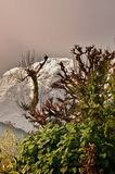 Tree and snowy mountain., trekking to the Annapurna. Base camp stock photography
