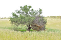 Tree with Sociable Weaver community bird nest Royalty Free Stock Photography