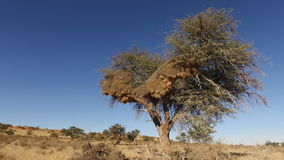 Tree with sociable weaver nest. African thorn tree with massive communal nest of sociable weavers (Philetairus socius), Kalahari, South Africa stock video