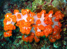 Tree Soft Coral. At Sipadan, Borneo, Malaysia Royalty Free Stock Photos