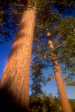 Tree-soft focus. Pine Trees in the Plumas National Forest, California, USA royalty free stock image
