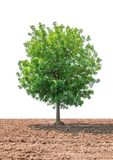 Tree on soil in the agricultural area isolated on white background. One tree on soil in the agricultural area isolated on white background Stock Images