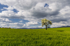 Tree solitaire Stock Images