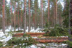 Tree spacing in pine forest at spring. Coniferous forest with logs on the ground after thinning and tree spacing to promote tree growth. Photographed in Salo Stock Photo
