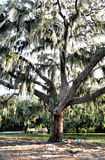 Tree with Spanish moss Stock Photo