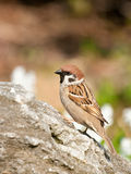 Tree Sparrow Stock Photography