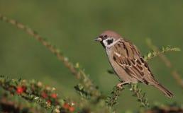 Tree Sparrow Royalty Free Stock Photo
