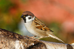 Tree Sparrow. A tree sparrow on a branch Royalty Free Stock Photos