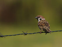 Tree sparrow. Sitting on a barbed wire Stock Image