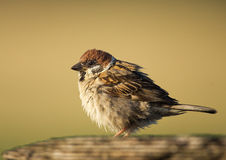 Tree Sparrow. In a matching background Royalty Free Stock Photo